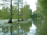Cyprès provenant des bayous de la Louisiane