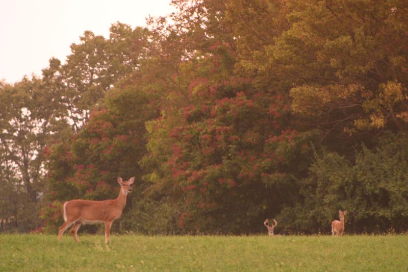 Deer at Sunset, Blandy Farm.