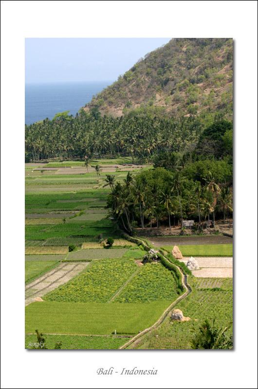 rice paddies near Candi Dasa