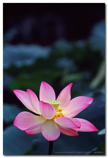 Lotus - ¤ô¿A¥Ð¶é