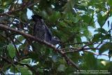 Bar-bellied Cuckoo-shrike (Female)   Scientific name - Coracina striata striata   Habitat - Forest and forest edge.