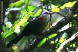 Scale-feathered Malkoha  (a Philippine endemic)   Scientific name - Phaenicophaeus cumingi   Habitat - Fairly common in forest, edge and second growth up to 2000 m.   [Image resampled to about 40%, with noise reduction and USM]