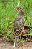 Richard's Pipit  Scientific name - Anthus novaeseelandiae  Habitat - On the ground in open country, grasslands, ricefields and parks.  [350D + Sigmonster (Sigma 300 - 800 DG)]