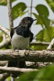 Oriental Magpie-Robin (Male)   Scientific name - Copsychus saularis  Habitat - Uncommon, in all levels of second growth and cultivated areas in the lowlands.   [350D + Sigmonster (Sigma 300-800 DG)]