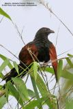 Philippine Coucal  (a Philippine endemic )   Scientific name - Centropus viridis   Habitat - Common from grasslands to forest up to 2000 m.  [350D + Sigmonster (Sigma 300-800 DG)]