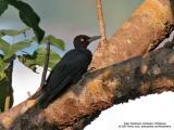 Sooty Woodpecker (a Philippine endemic)  Scientific name - Mulleripicus funebris  Habitat - Forest and forest edge.  [20D + Sigmonster (Sigma 300-800 DG)]