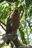 Philippine Serpent-Eagle  (a Philippine endemic)   Scientific name - Spilornis holospilus   Habitat - Forest from lowlands to over 2000 m.   [20D + Sigmonster (Sigma 300-800 DG)]