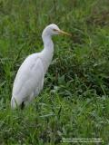 Cattle Egret   Scientific name: Bubulcus ibis   Habitat: Common in pastures, ricefields and marshes.   [20D + 400 5.6L, hand held]