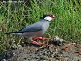 Java Sparrow   Scientific name - Padda oryzivora   Habitat - Uncommon in parks, residential areas and scrub, sometimes in neighboring ricefields.   [350D + Sigmonster (Sigma 300-800 DG)]