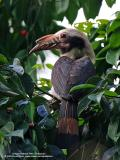 Luzon Hornbill  (a Philippine endemic, Male)   Scientific name - Penelopides manillae   Habitat - Forest and edge up to 1500 m.   [350D + Sigmonster (Sigma 300-800 DG)]