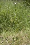 Erigeron philadelphicus  Philadelphia fleabane