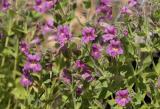 Mimulus lewisii  Lewis' monkeyflower and bugs