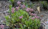 Chimaphila umbellata  Prince's pine