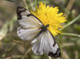 Pine White  Neophasia menapia