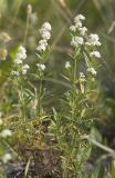 Galium boreale  Northern bedstraw