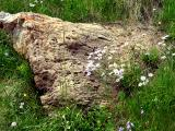 rock and asters.jpg