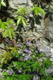 Virginia Creeper and Wild Geraniums.jpg