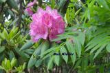 Rhododendron and Mountain Ash
