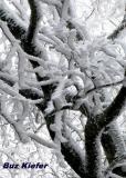 Rime Ice on Birch.jpg