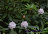 Rhododendron Maximum.jpg