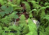 Ferns and Rock.jpg
