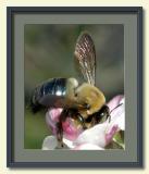 Flying Bumble Bee on Apple Blossom-framed.jpg