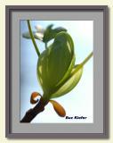 Yellow Poplar Bud 2-framed.jpg