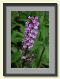 Purple Fringed Orchid near Clingmans Dome-framed.jpg