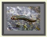 Salamander Sunning on a Rock-framed.jpg