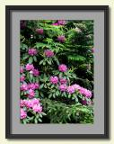 Mountain Ash, Rhododendron and Fir.jpg