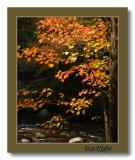 Maple along the River