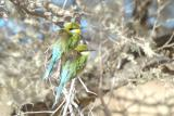 Pair of Bee Eaters in the wind