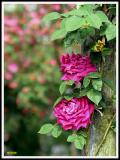 Dream Roses on the Vine