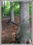 The Graffiti Tree in the Garden Woods