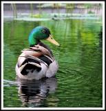 Duckwatch