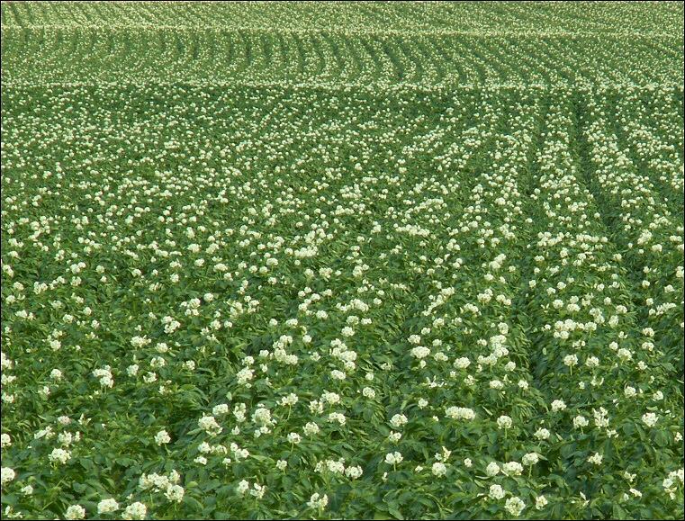 Fleurs de patat(iers).
