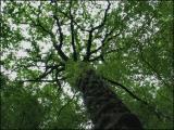 Chêne. Forêt de Soignes.