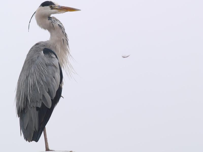 Grey Heron (Ardea cinerea) 9