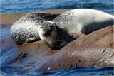 Phoques - Seals