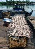 drying river fish