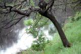 Tree by Stream