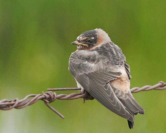 Cliff Swallow, juvenile