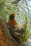 American Robin, nest, June-July 2007