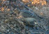 Buff-Breasted Sandpiper, juvenile