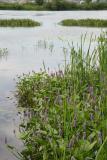 Pontédérie à feuilles en coeur (Pontederia cordata)