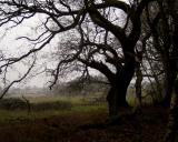 Wiggonholt Oak