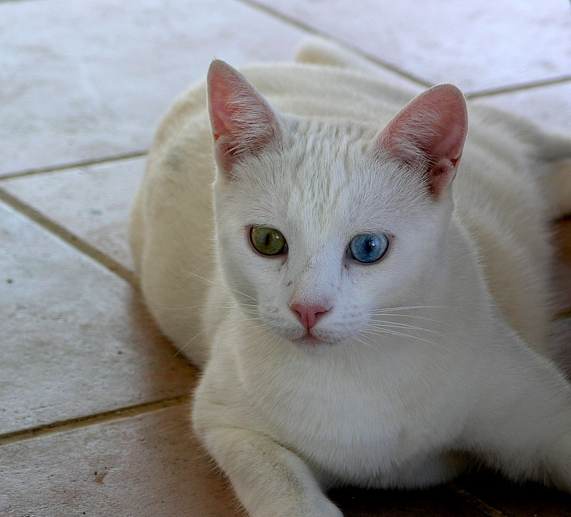 Turkish VAN Cat (VAN: a province in Eastern Turkey)