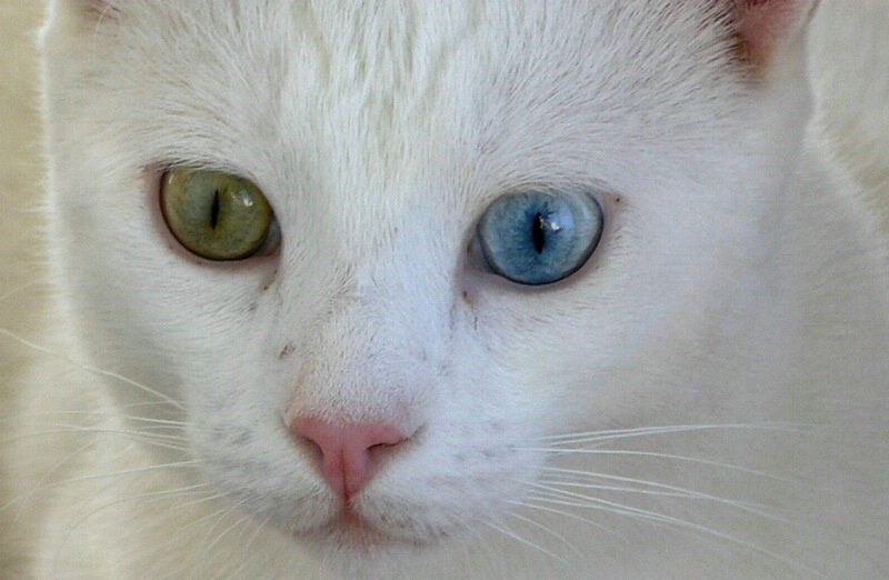 Turkish VAN Cat - closer view