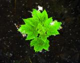 swamped maple