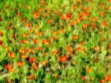 hawkweed field